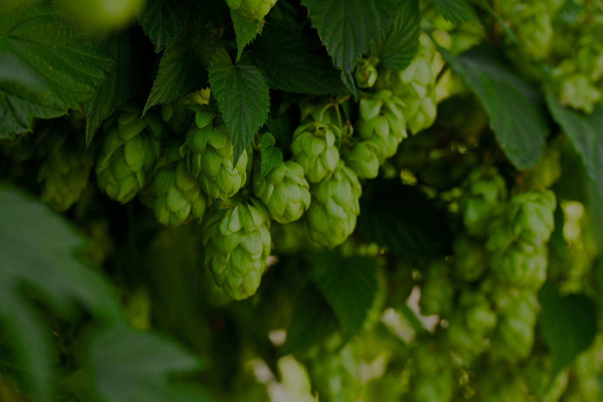 The Wild Taste of Hops